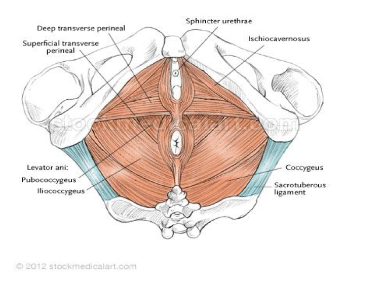 The muscles of the pelvic floor