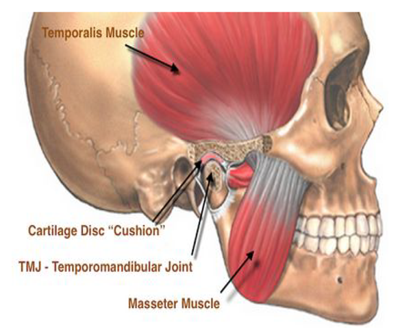 Muscles of the temporomandibular joint.